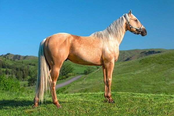 Fastest Horse Breeds In The World